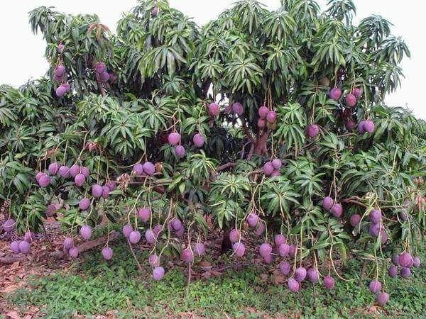 sugar free mango tree
