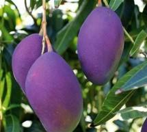 சுகர் ஃப்ரீ மாம்பழங்கள் (sugar free mango tree)